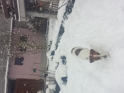 Heidi, chien Jack Russell Terrier