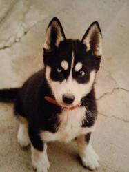 Heidi, chien Husky sibérien