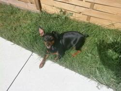 Heidi, chien Pinscher