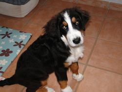 Heidie, chien Bouvier bernois