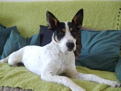 Heidie, chien Border Collie