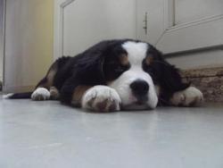 Heidy, chien Bouvier bernois