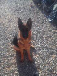 Heidy Des Plaines De Montimaran, chien Berger allemand