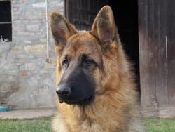 Heiko , chien Berger allemand