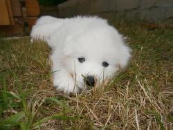 Heiko, chien Samoyède