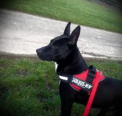 Heilko, chien Bull Terrier