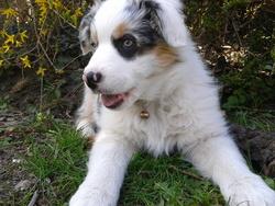 Heivy, chien Berger australien