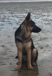 Heiwa, chien Berger allemand