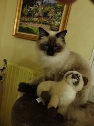 Héléna, chat Ragdoll
