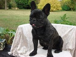 Hélesse, chien Bulldog
