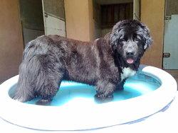 Helfi, chien Terre-Neuve