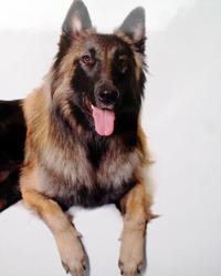Helfie, chien Berger belge
