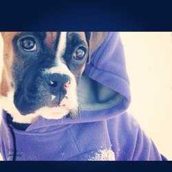 Helfie, chien Boxer