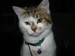 Helfie, chat Européen