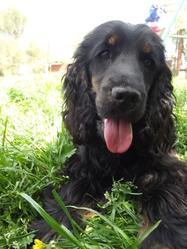 Helfy, chien Cocker anglais