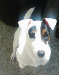 Helfy, chien Jack Russell Terrier