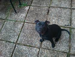 Helfy, chien Staffordshire Bull Terrier