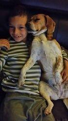 Helfy, chien Beagle