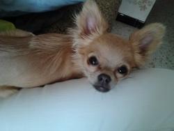 Helfy, chien Chihuahua