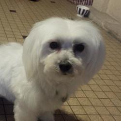 Helfy, chien Bichon maltais