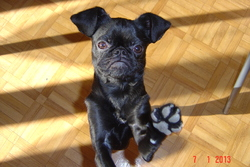 Helfy, chien Petit brabançon