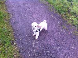 Helfy, chien Caniche