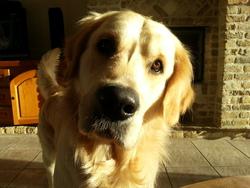 Héli Des Vives, chien Golden Retriever