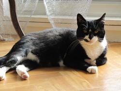 Hélia, chat Européen