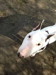 Hélia, chien Bull Terrier