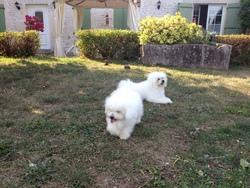 Hélia, chien Bichon bolonais