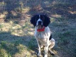 Helia, chien Épagneul breton