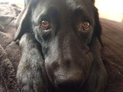 Hélia, chien Labrador Retriever