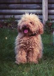 Helia, chien Caniche