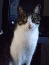 Héliade, chat Européen