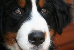 Héliade, chien Bouvier bernois