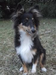 Helice, chien Berger des Shetland