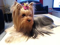 Hélie, chien Yorkshire Terrier