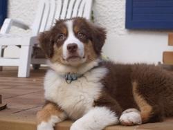 Helie, chien Berger australien