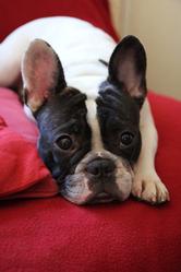 Hélie, chien Bouledogue français