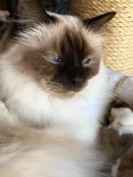 Hélie Du Val Des Cigales, chat Birman