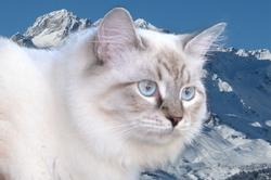Hélina, chat Sibérien