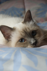 Helina De Sasti, chat Birman