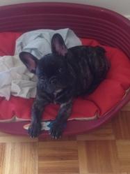 Hélina, chien Bouledogue français