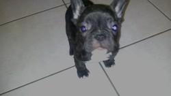 Hanna, chien Bouledogue français