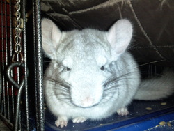 Helios, rongeur Chinchilla