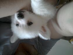 Helios, chien Spitz japonais