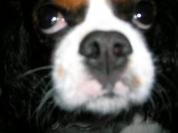 Helios, chien Cavalier King Charles Spaniel