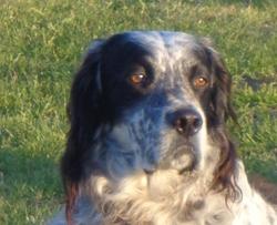 Hélios, chien Setter anglais