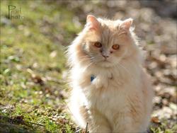 Hélios, chat Persan