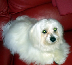 Helios, chien Bichon maltais